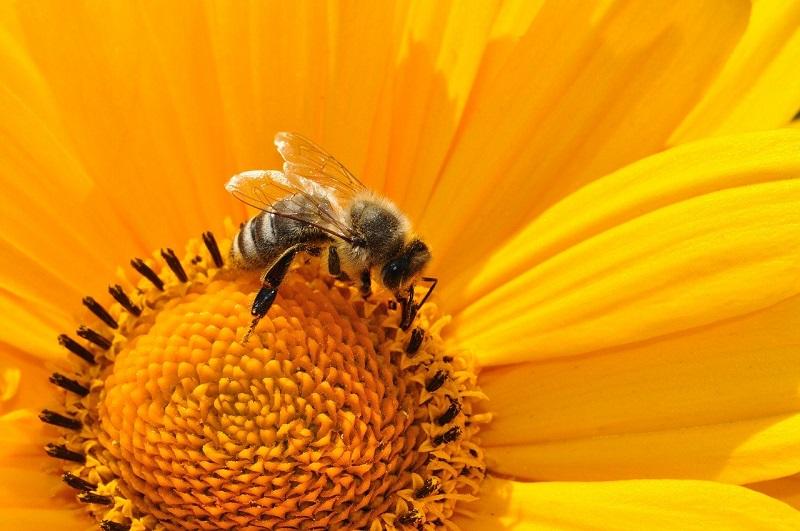 A honeybee sitting inside a large yellow flower