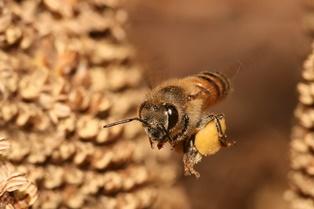 Bee with pollen basket