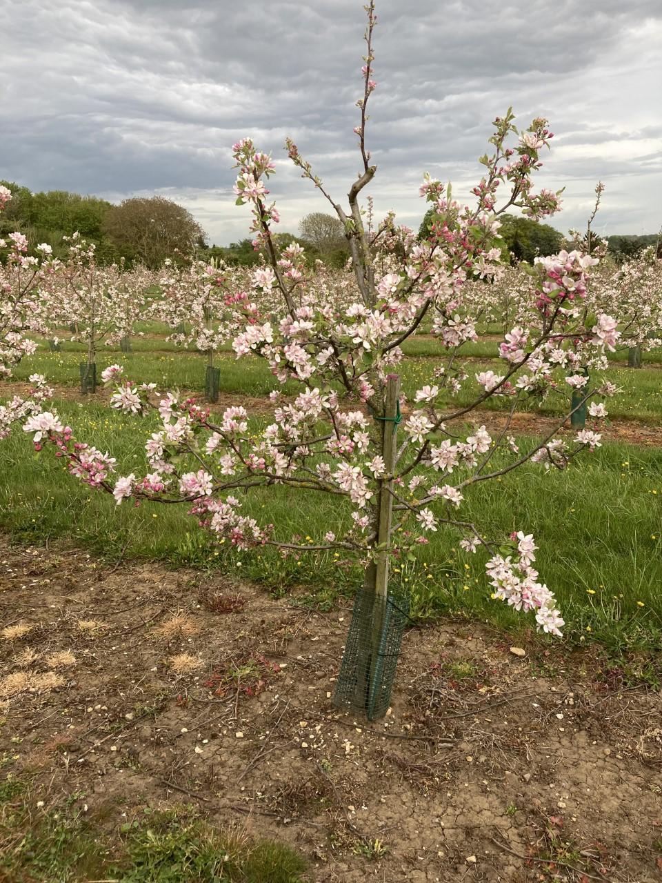 Cider apple tree