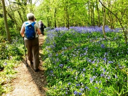 Bluebells in Hollington Wood